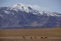 抽烟的火山在阿塔卡马,智利,有骆马的 库存图片
