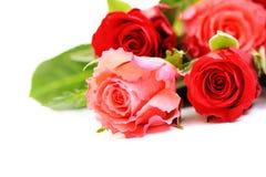抽签玫瑰 免版税库存照片