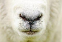 抽象农厂绵羊特写镜头面孔鼻子嘴背景 免版税库存图片