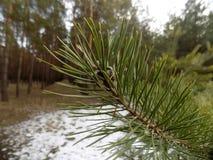 抽象冬天自然 美好的分支背景 背景射线关闭砍伐结构树 森林自然风景 深绿色杉木 库存照片