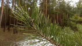 抽象冬天自然 美好的分支背景 背景射线关闭砍伐结构树 森林自然风景 深绿色杉木 免版税库存图片