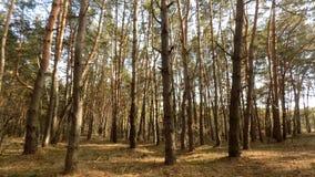 抽象冬天自然 美好的背景 背景射线关闭砍伐结构树 森林自然风景 深绿色杉木 免版税库存照片