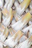 抽象吠声棕榈,棕榈树背景纹理树干细节  免版税库存照片