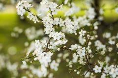 抽象季节性春天花卉背景 与杏子白花的开花的树枝 免版税库存图片
