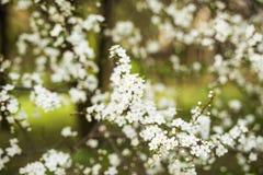 抽象季节性春天花卉背景 与杏子白花的开花的树枝 库存图片