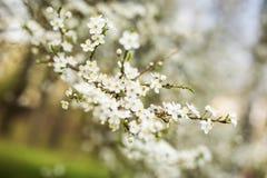 抽象季节性春天花卉背景 与杏子白花的开花的树枝 免版税图库摄影