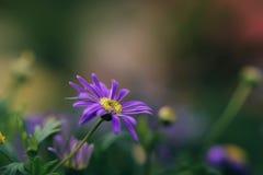 抽象开花在模糊的背景中的迷离紫罗兰色雏菊花 库存图片