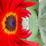 抽象形成一朵五颜六色的红色百日菊属花有绿色植物背景 免版税库存图片
