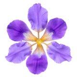 抽象意想不到的淡紫色虹膜花在白色ba被隔绝 免版税库存照片