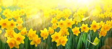 抽象春天背景;春天黄色花和蝴蝶 免版税库存图片