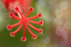 抽象木槿罗莎sinensis, Hibisceae,与bokeh、射线、光和透镜fl的锦葵科花软性被弄脏的和软的焦点  免版税库存照片