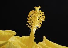 抽象木槿花粉 库存图片