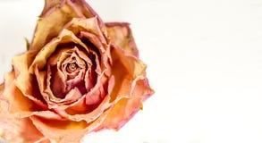 抽象构成-干玫瑰关闭  免版税库存图片