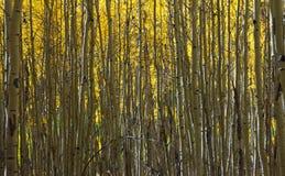 抽象白杨木森林金黄模式 库存照片