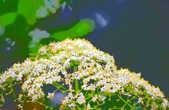 抽象白色黄色花卉背景- Hogweed - Heracleum 皇族释放例证