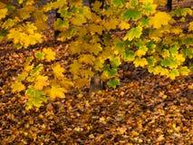 抽象秋天明亮的颜色下跌叶子好的模式红色半 免版税图库摄影