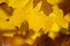 抽象秋天背景,老橙色槭树离开 免版税库存图片