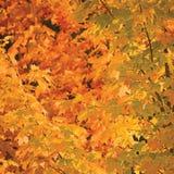 抽象红色和金黄槭树离开秋季背景,大详细的充满活力的五颜六色的秋天题材特写镜头 免版税库存图片