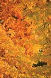抽象红色和金黄槭树离开,垂直的秋季背景,大详细的充满活力的五颜六色的秋天题材特写镜头 图库摄影