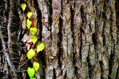 抽象纹理背景-树皮树干木绿色离开 图库摄影