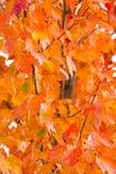 抽象背景收藏:秋天桔子叶子/树荫  库存照片