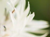 抽象背景极其宏观瓣射击向日葵 在白花的果蝇 免版税库存照片