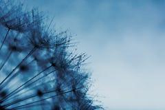 抽象背景蒲公英 植物种子抽象宏观照片用水滴下 免版税库存照片