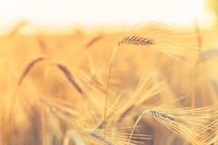 抽象背景麦子 夏天草甸和食品成分 免版税库存照片