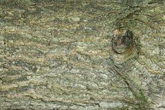 抽象背景:与分支的余下的橡树样式 免版税库存图片