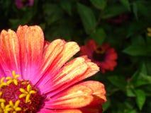 抽象背景 百日菊属和绿叶 免版税库存图片