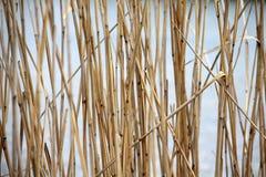 抽象自然本底:芦苇 免版税库存照片