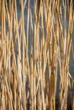 抽象自然背景:芦苇 库存图片
