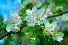 抽象苹果开花结构树 免版税库存照片