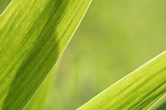 抽象虹膜叶子背景 免版税库存图片
