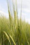 抽象观点的黑麦 库存图片
