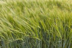 抽象观点的黑麦 免版税图库摄影