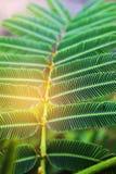 抽象软性被弄脏的和软的焦点金合欢pennata、绿色叶子有射线光的和透镜火光表面纹理影响 库存照片