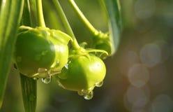 抽象软的焦点黄色夹竹桃,幸运的坚果, Cascabela黄夹竹桃属,夹竹桃科,果子用水在与bokeh的雨, bea以后滴下 库存图片