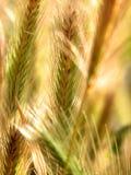 抽象麦子 免版税库存图片