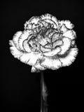 抽象黑色康乃馨白色 库存照片