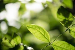 抽象bokeh自然背景和美丽的墙纸 绿色叶子优质Defocus在树的 免版税库存照片