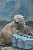 负担与崽在新西伯利亚动物园夏天 免版税库存图片
