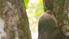 担任主角树,哥斯达黎加的怠惰特写镜头 股票录像
