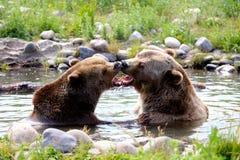 负担北美灰熊亲吻 库存图片