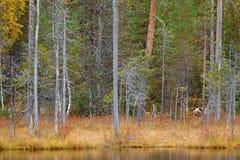 负担在森林有熊的秋天森林掩藏 走在有秋天颜色的湖附近的美丽的棕熊 危险动物 库存图片