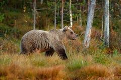 负担在走在有秋天颜色的湖附近的森林美丽的大棕熊 危险动物在自然森林和草甸里 免版税图库摄影