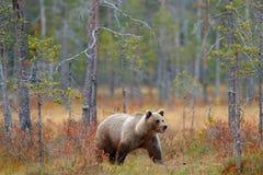 负担在走在有秋天颜色的湖附近的森林美丽的大棕熊 危险动物在自然森林和草甸里 库存图片