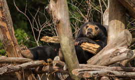 担心的太阳熊 免版税图库摄影