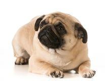 担心的狗 免版税图库摄影
