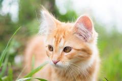 担心的逗人喜爱的姜小猫看起来 库存图片